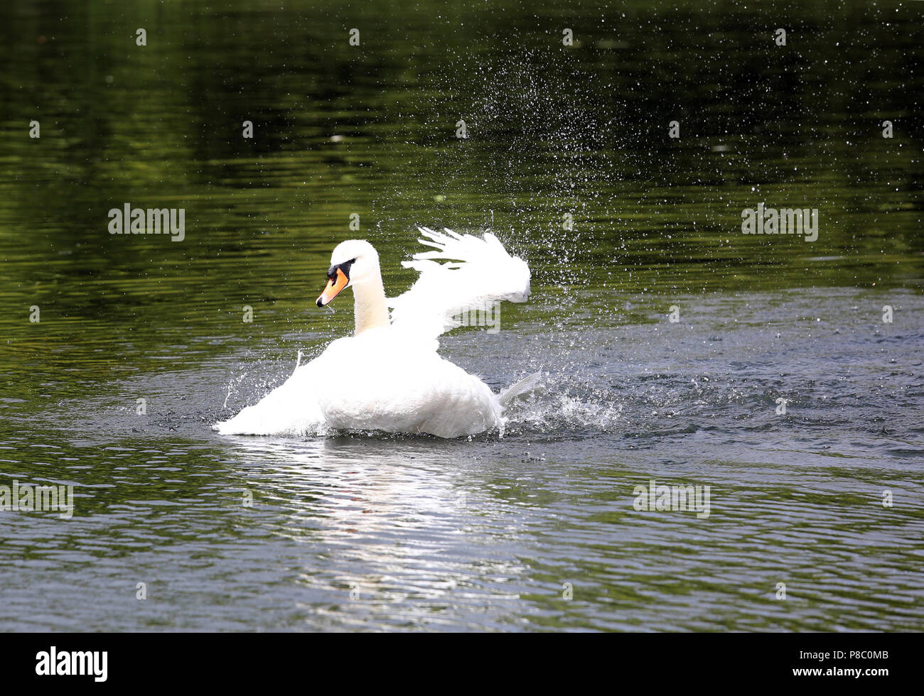 Berlin, Germany, Hoeckerschwan beating in the water with the wings - Stock Image