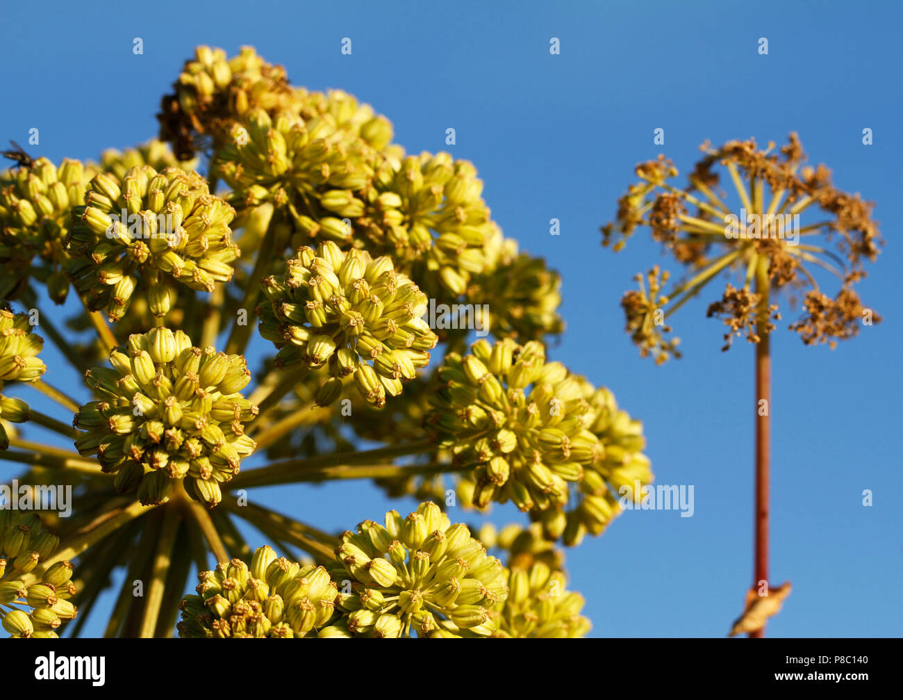 Sea Garden Angelica, Angelica archangelica litoralis, on the seashore of Gotland Island in Sweden. - Stock Image