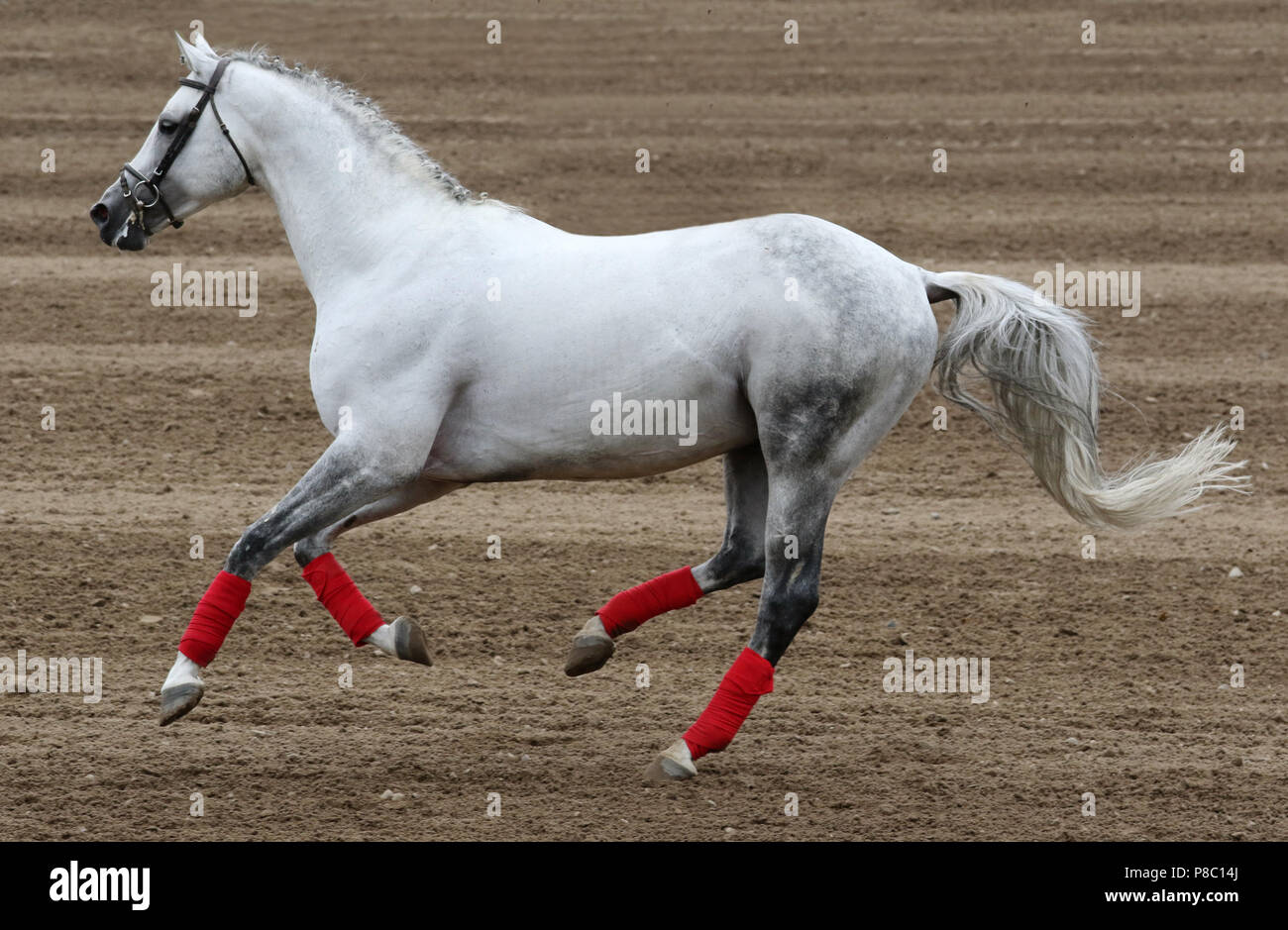 Studded Ganschow, Trakehner stallion Cousteau galloping - Stock Image