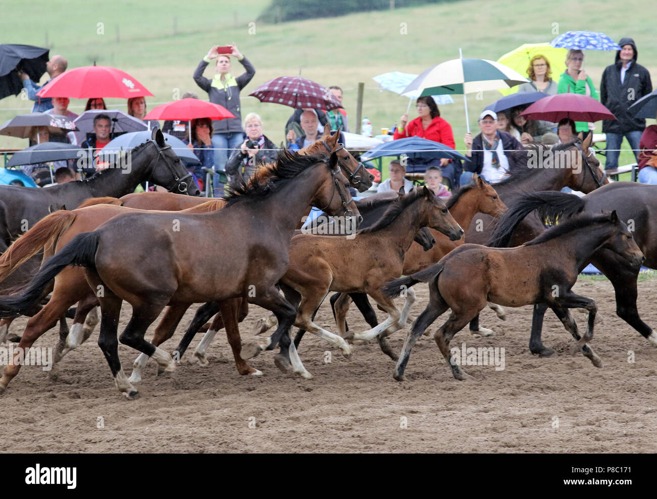 Studied Ganschow, chart, free-running mares and foals galloping - Stock Image