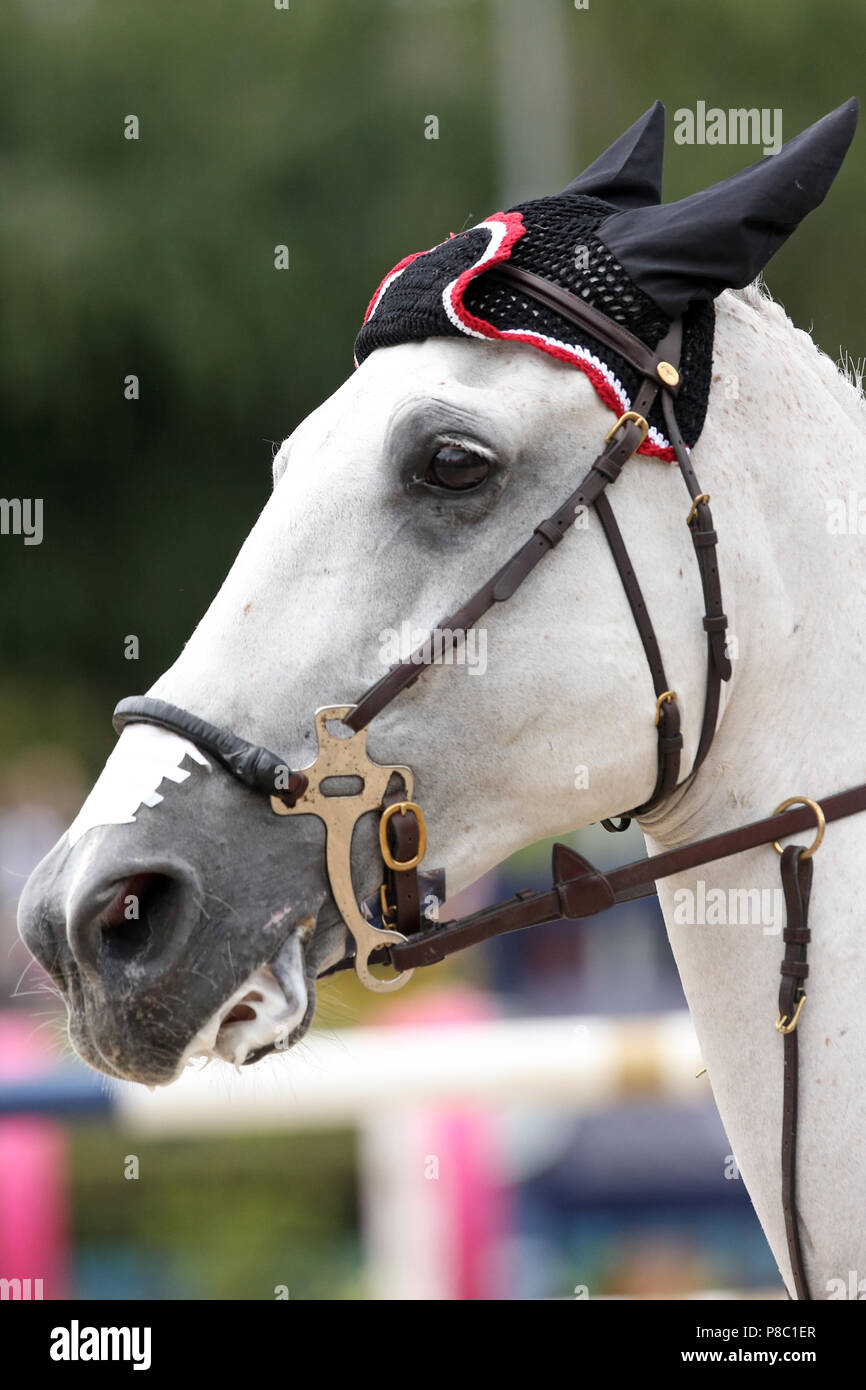 Berlin, horse with nose plaster is fenced on Hackamore - Stock Image