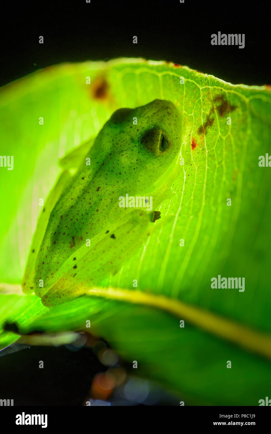 red dotted frog - Boophis bottae, beautiful nocturnal endemic frog from Madagascar forests, Andasibe. - Stock Image