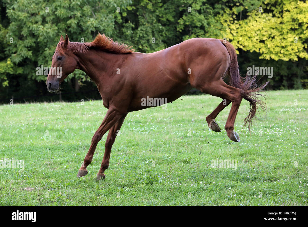 Gestuet Westerberg, horse hunched in the pasture - Stock Image