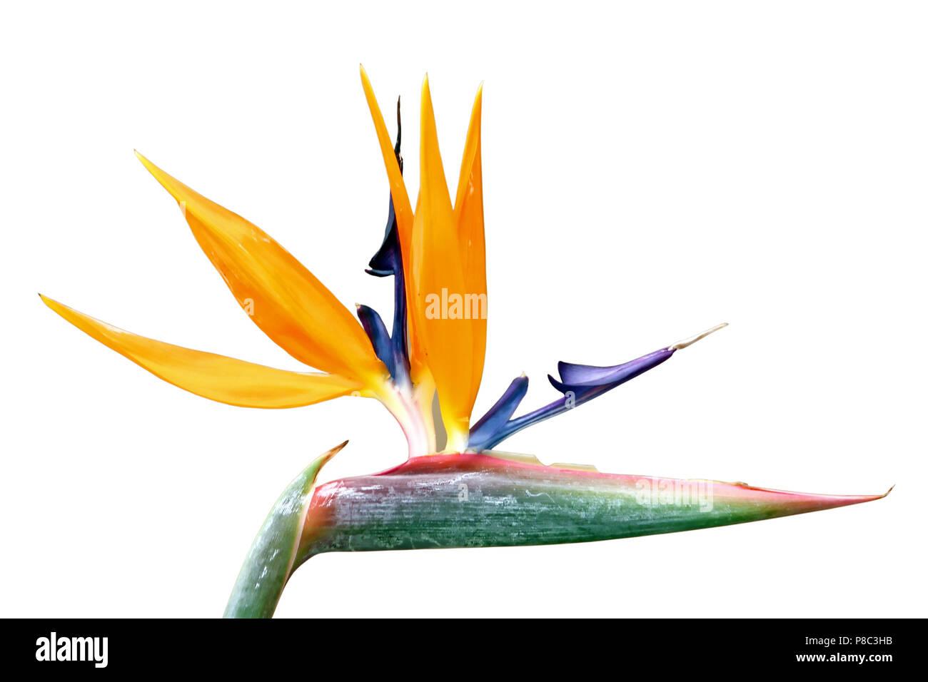 Bird Of Paradise Flower Strelitzia Reginae Flowering Plant