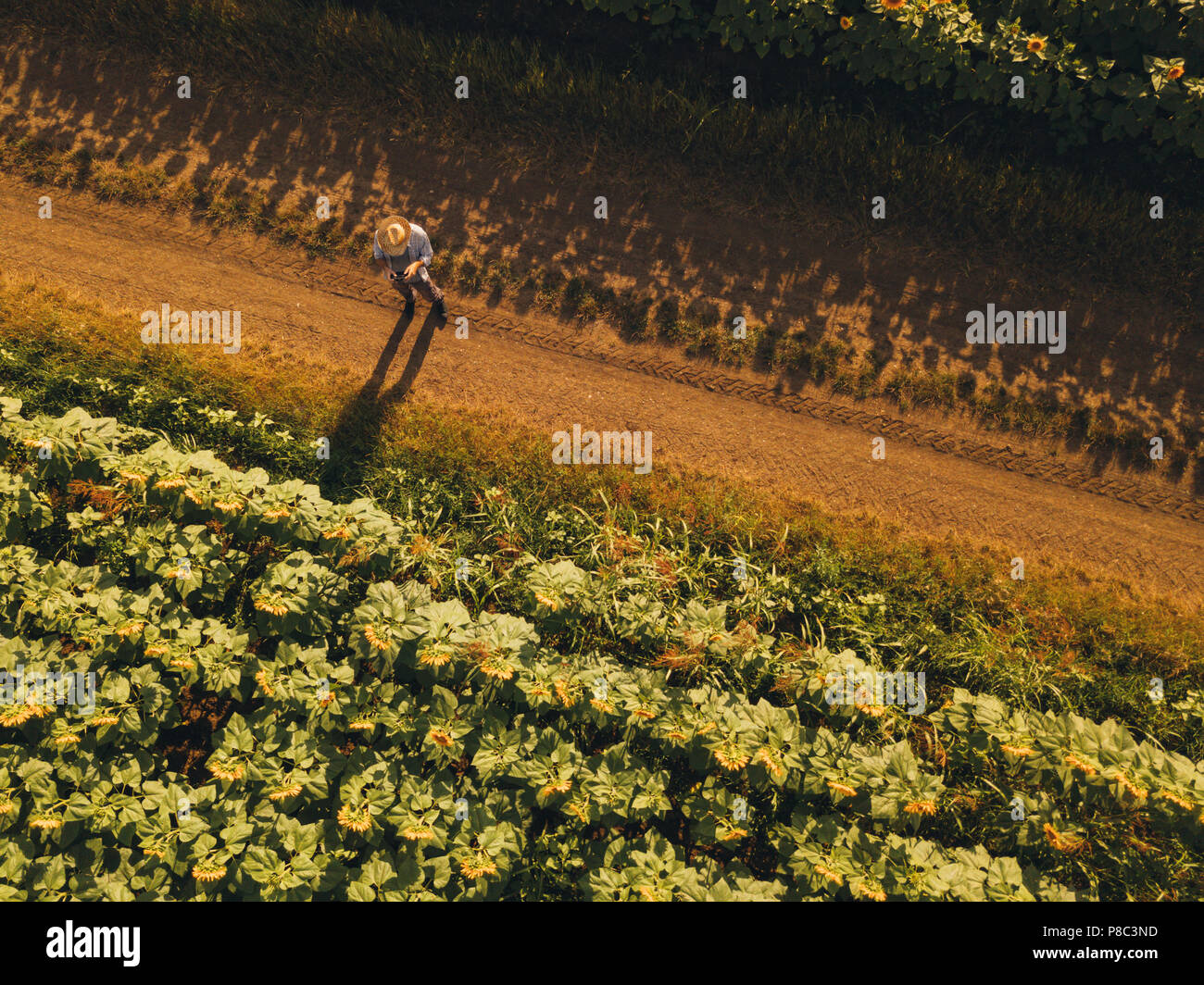 Farmer agronomist using drone to examine blooming of sunflower crops in field from above, using modern technology in agriculture and food production i Stock Photo