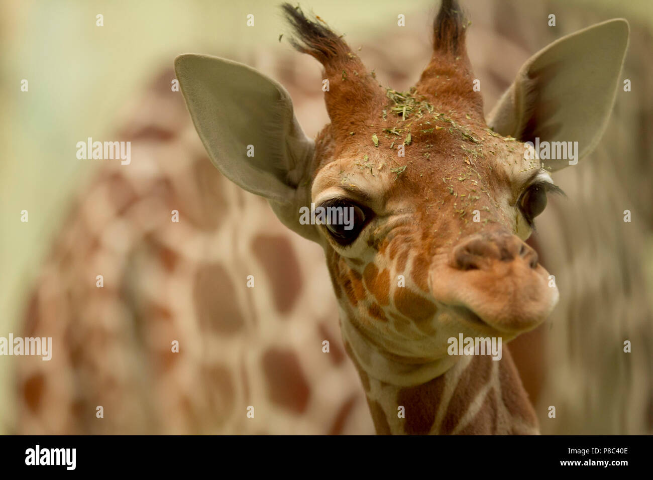 Cutest baby giraffe portrait - Stock Image