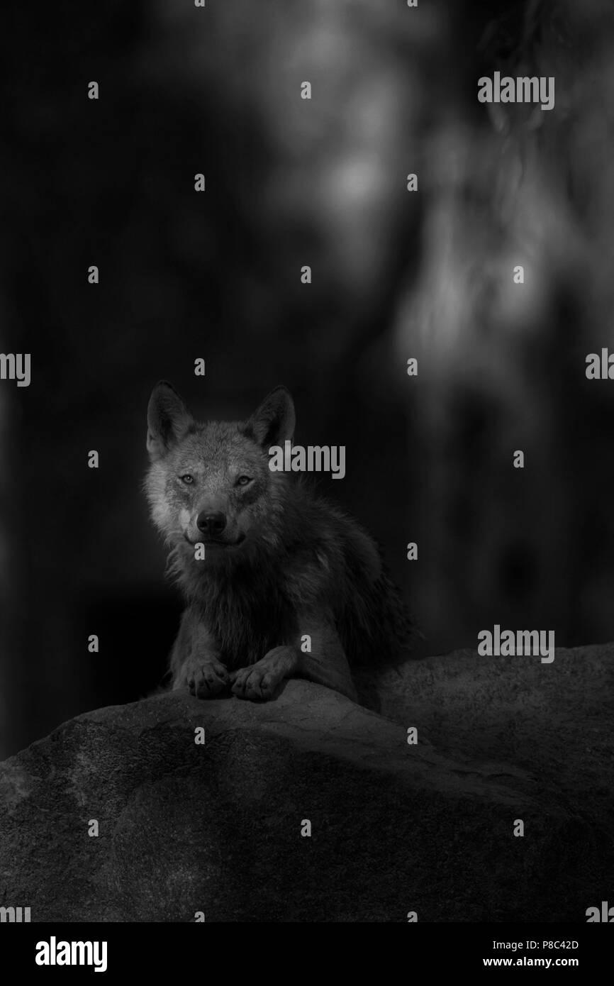 Wolf staring Stock Photo