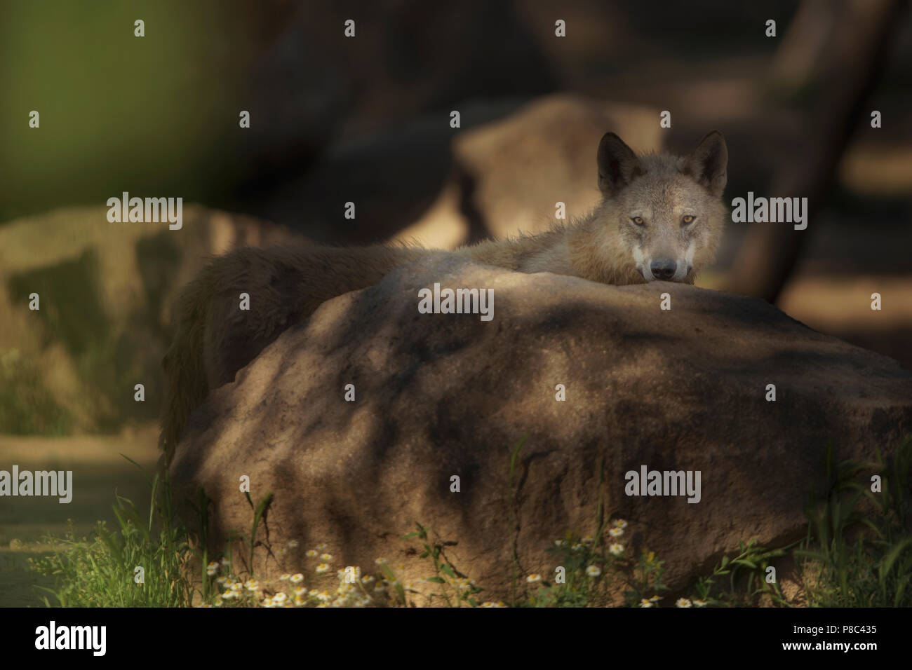 Wolf - Stock Image