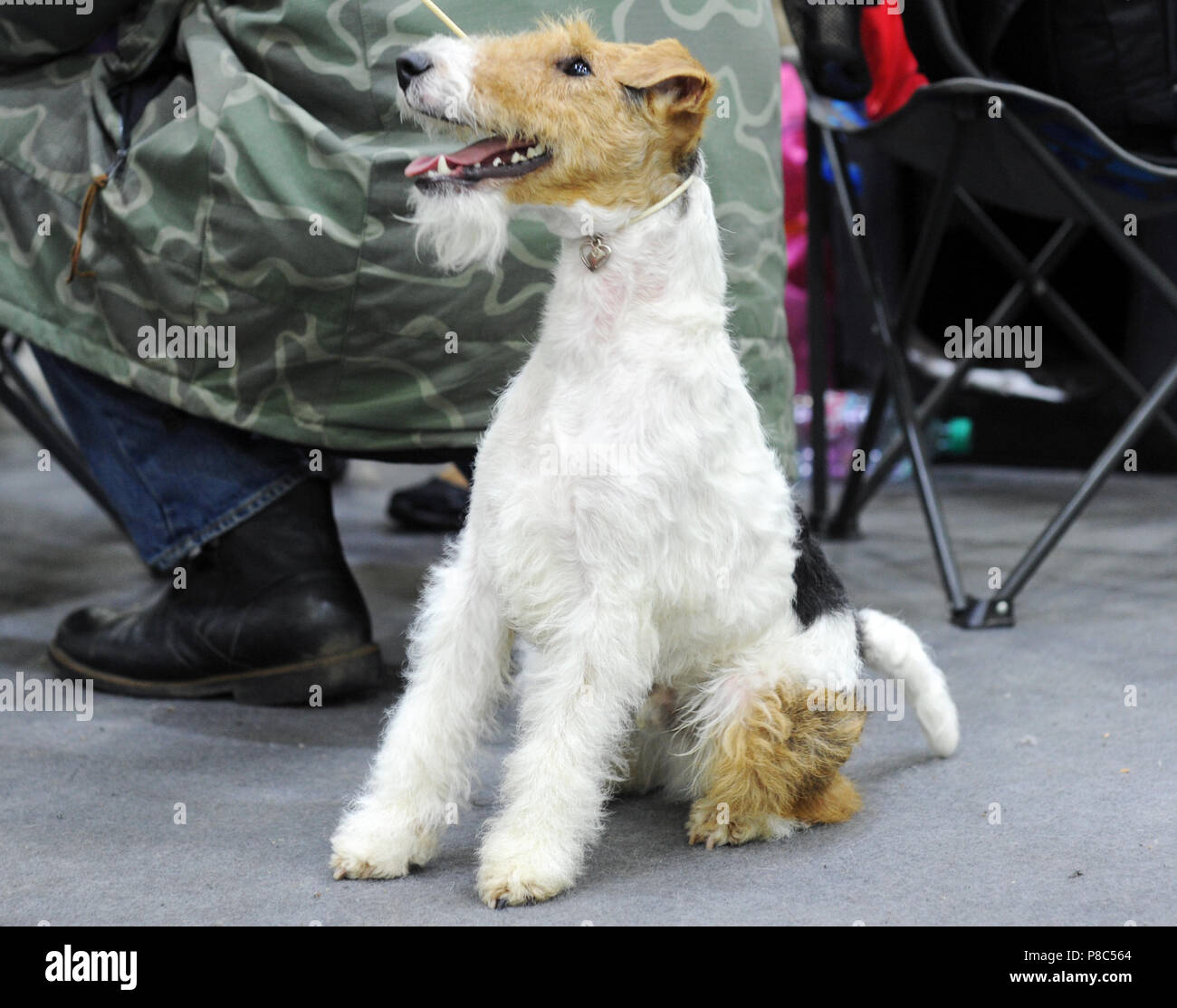 Wire Fox Terrier at dog show in Moscow Stock Photo: 211709180 - Alamy