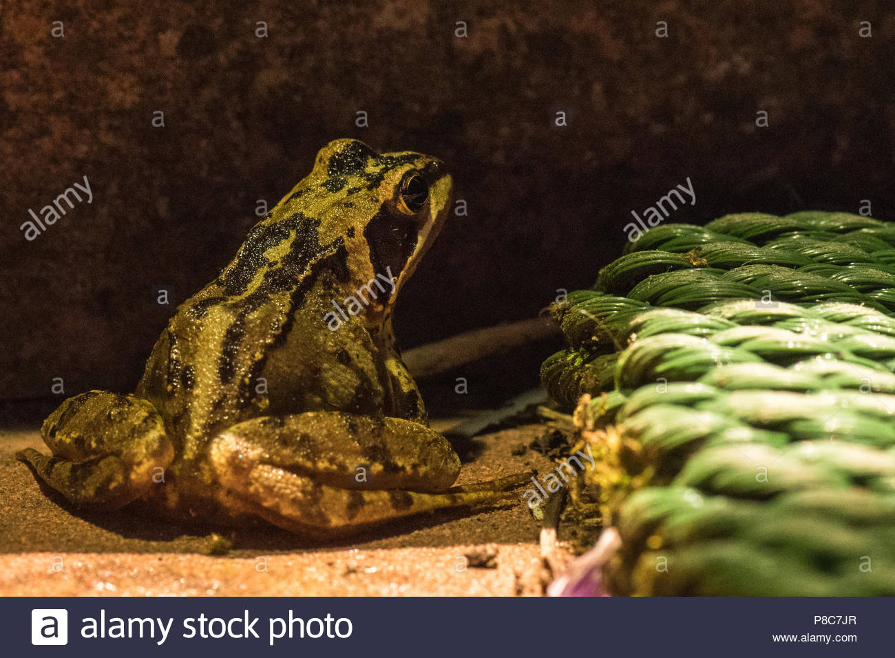 garden wildlife uk at night - a common frog (Rana temporaria' sitting outside house at night - Stock Image