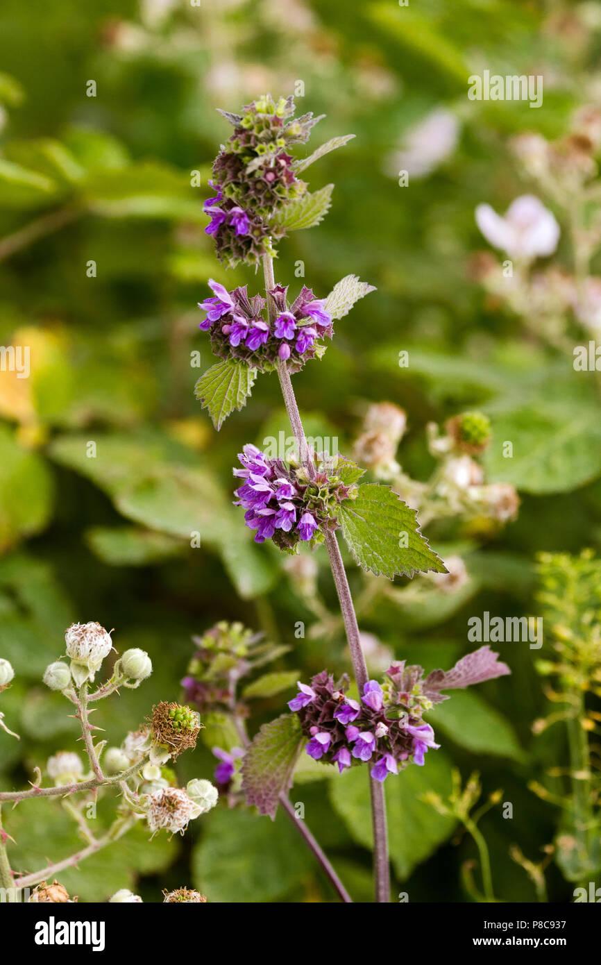 Stinging nettle purple flowers - Stock Image