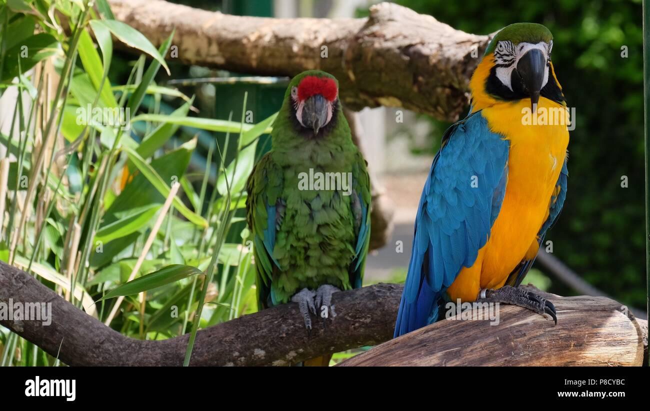 Parrot Ara - Stock Image