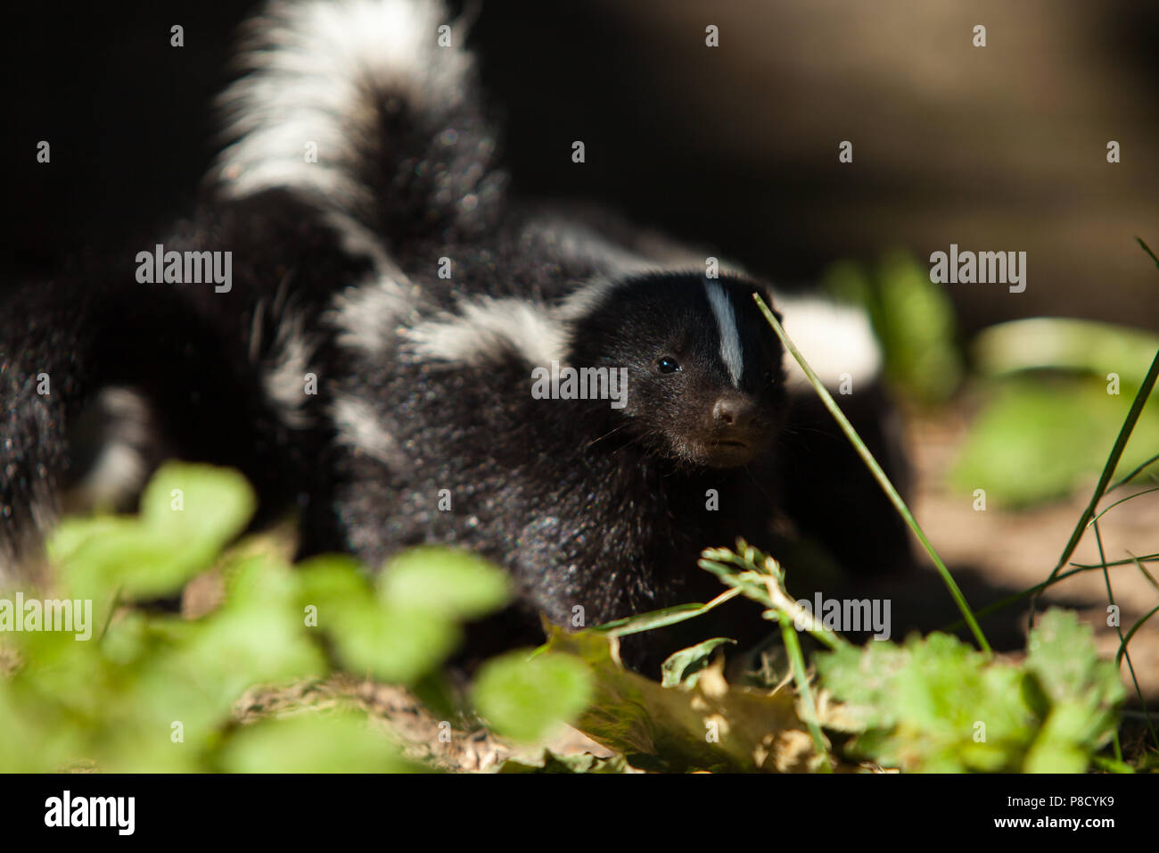 Skunk In Backyard skunk kits in the backyard stock photo: 211726797 - alamy