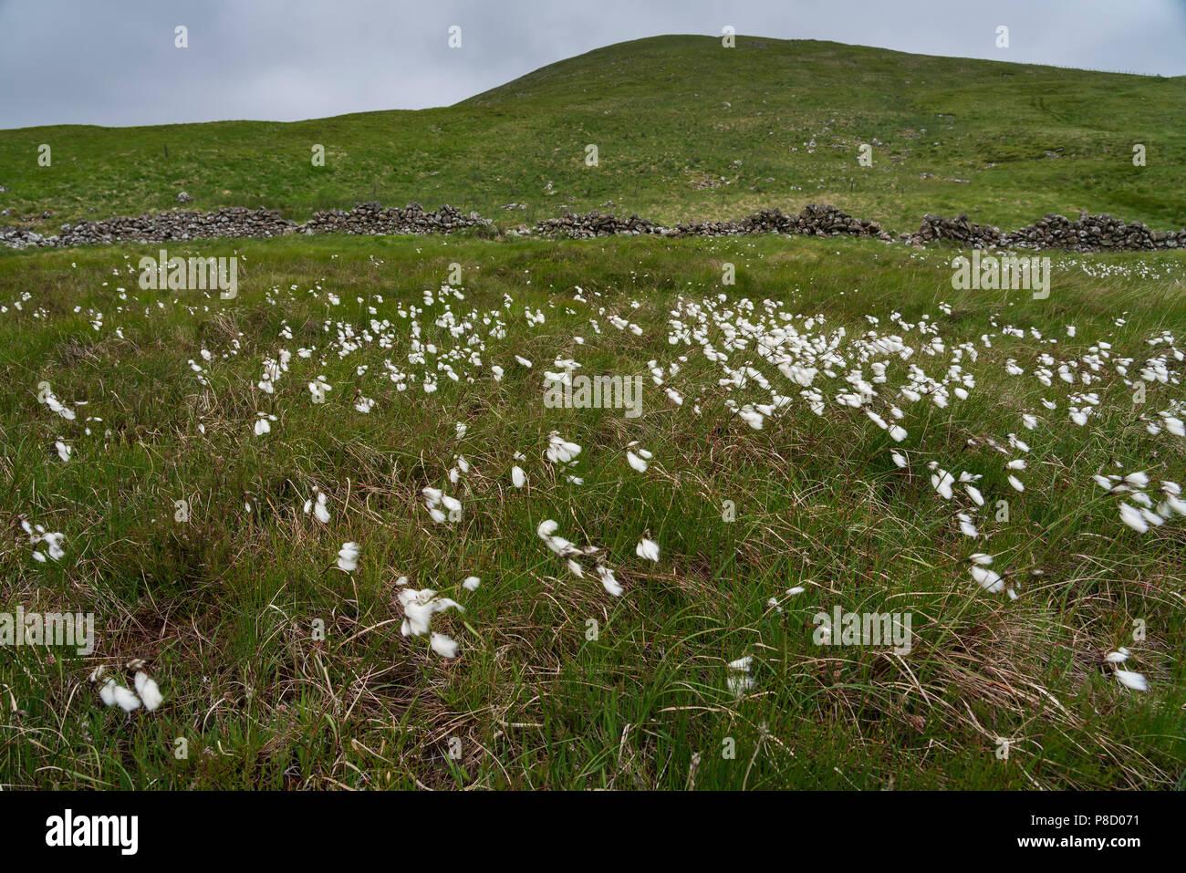Tweedsmuir Hills, upper Tweed valley, Talla - cotton grass. Stock Photo