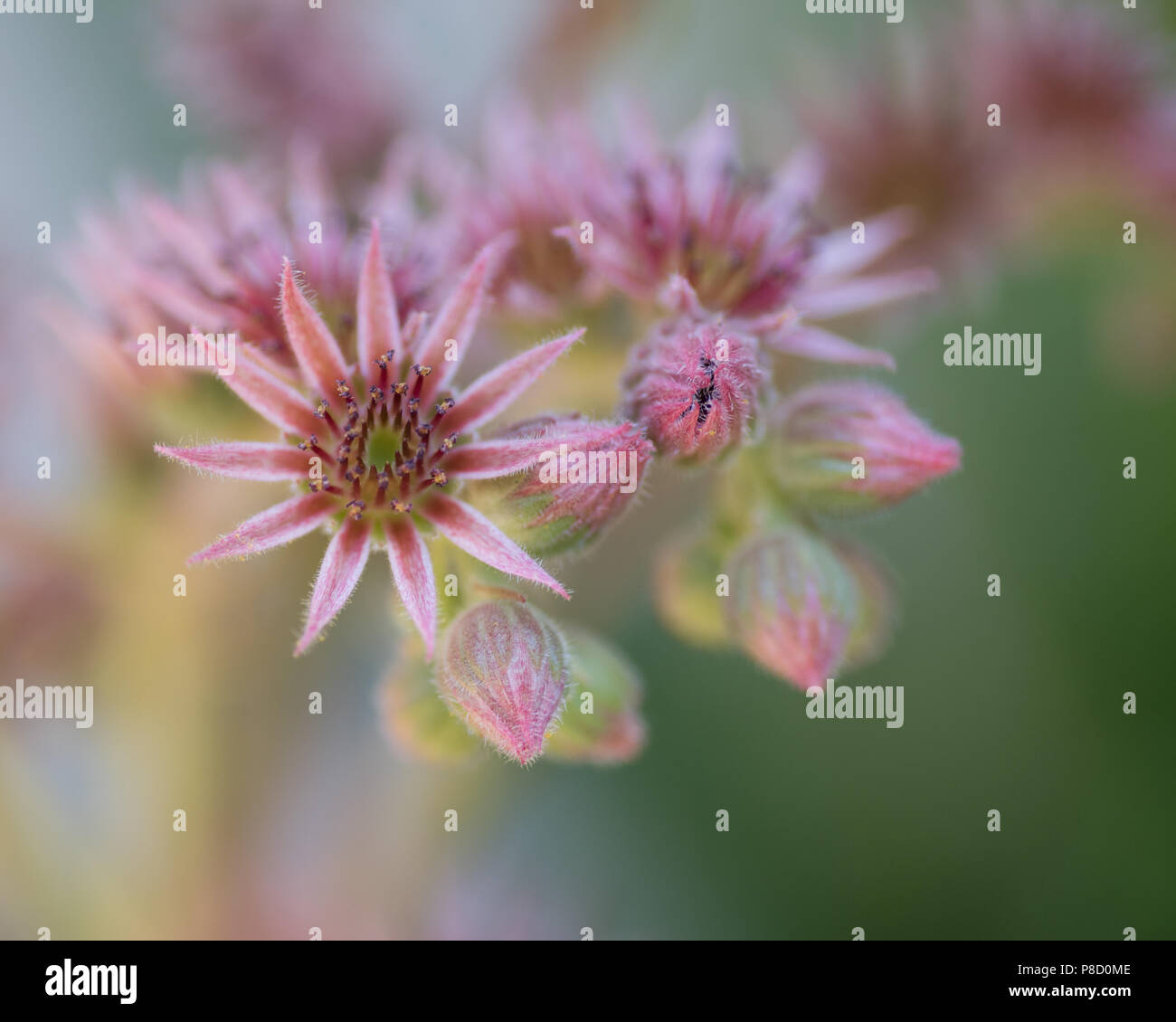 Chicks and hens flowering in the summer. New Jersey is the garden state of the United states. Flowers of any kind are nature's way to goodness. - Stock Image