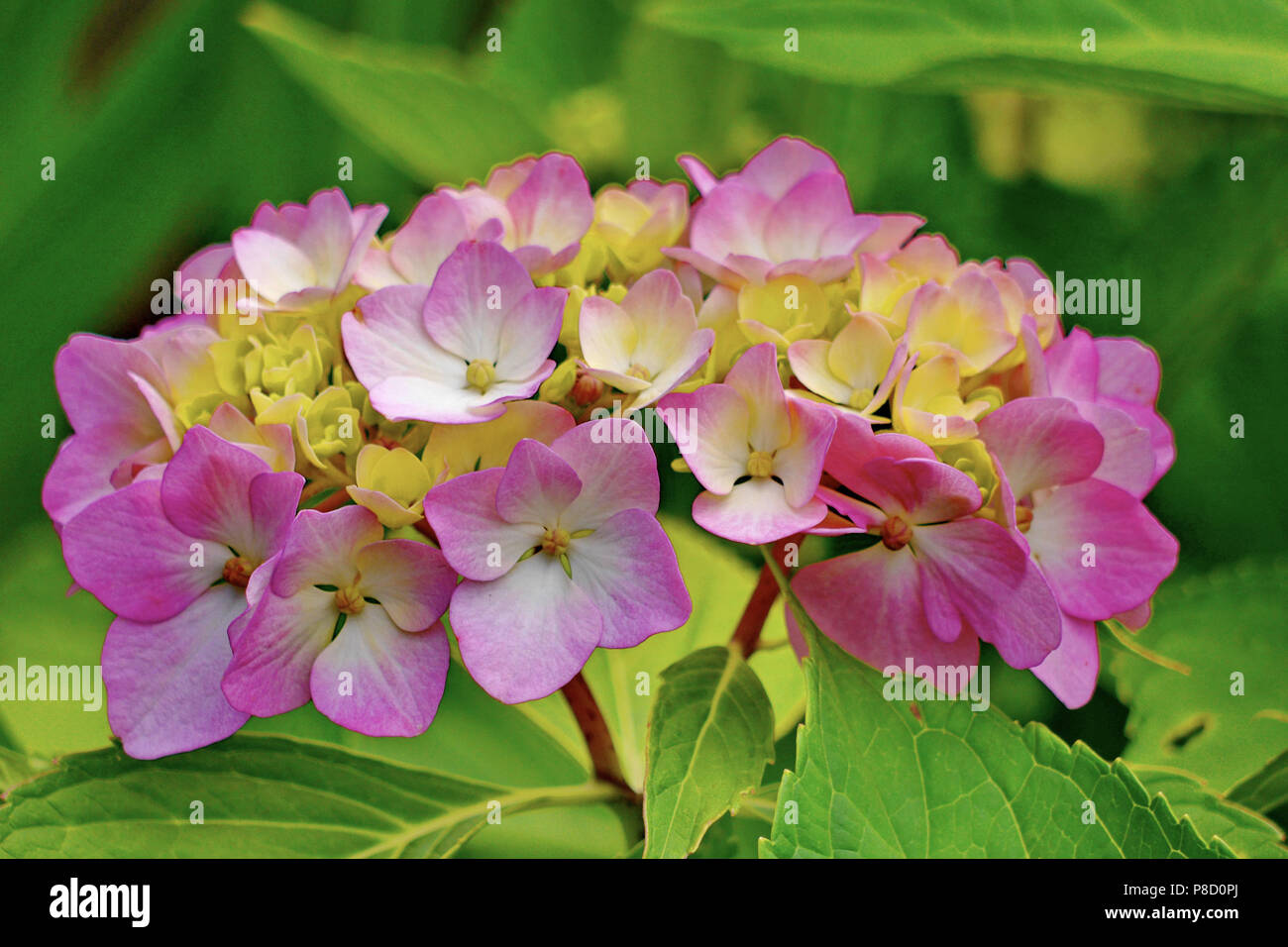 Beautiful Small Petals Of Pink Flowers With Yellow Center And Green