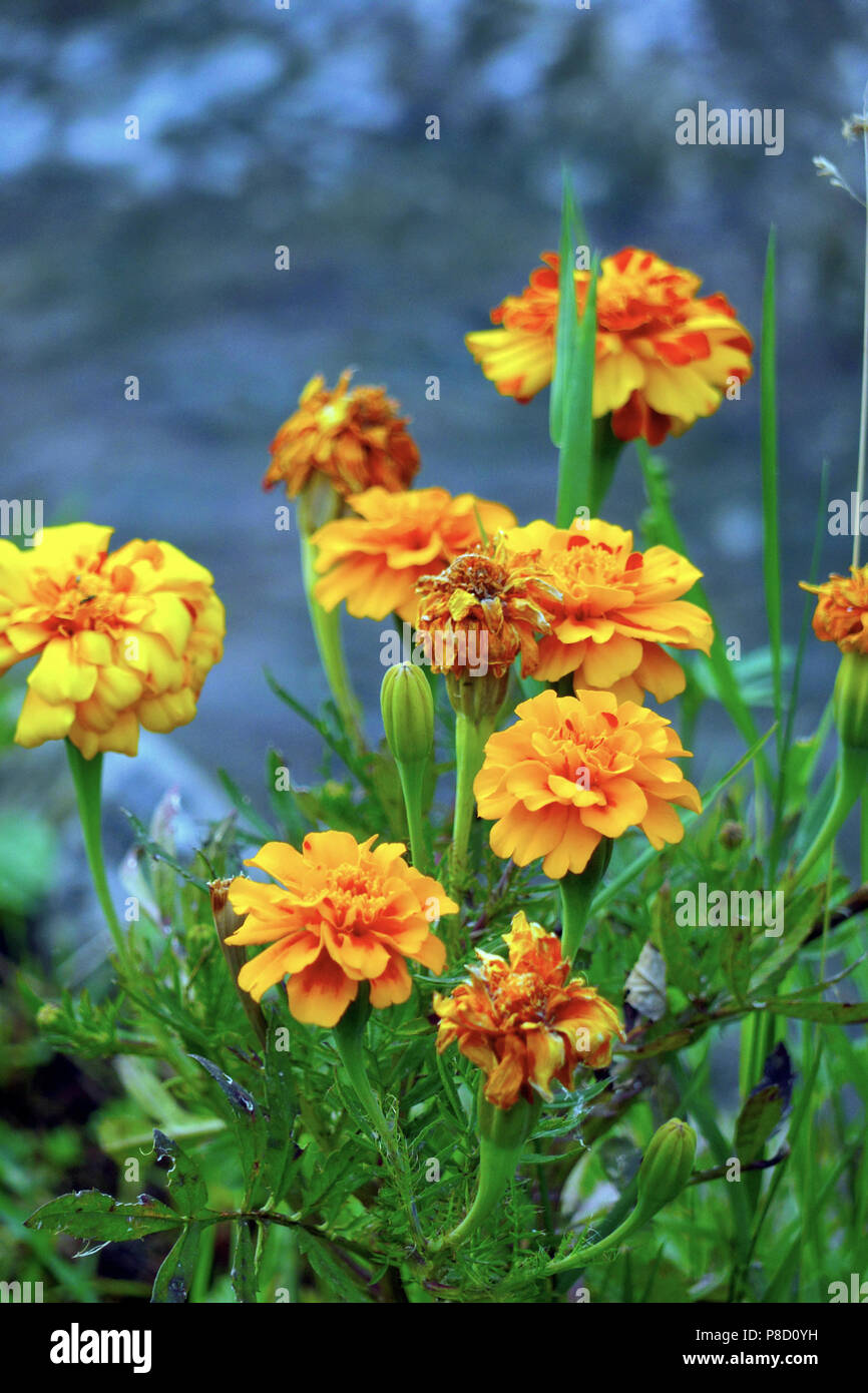 Withering and blooming flowers with orange petals, as well as young buds with green leaves . For your design - Stock Image