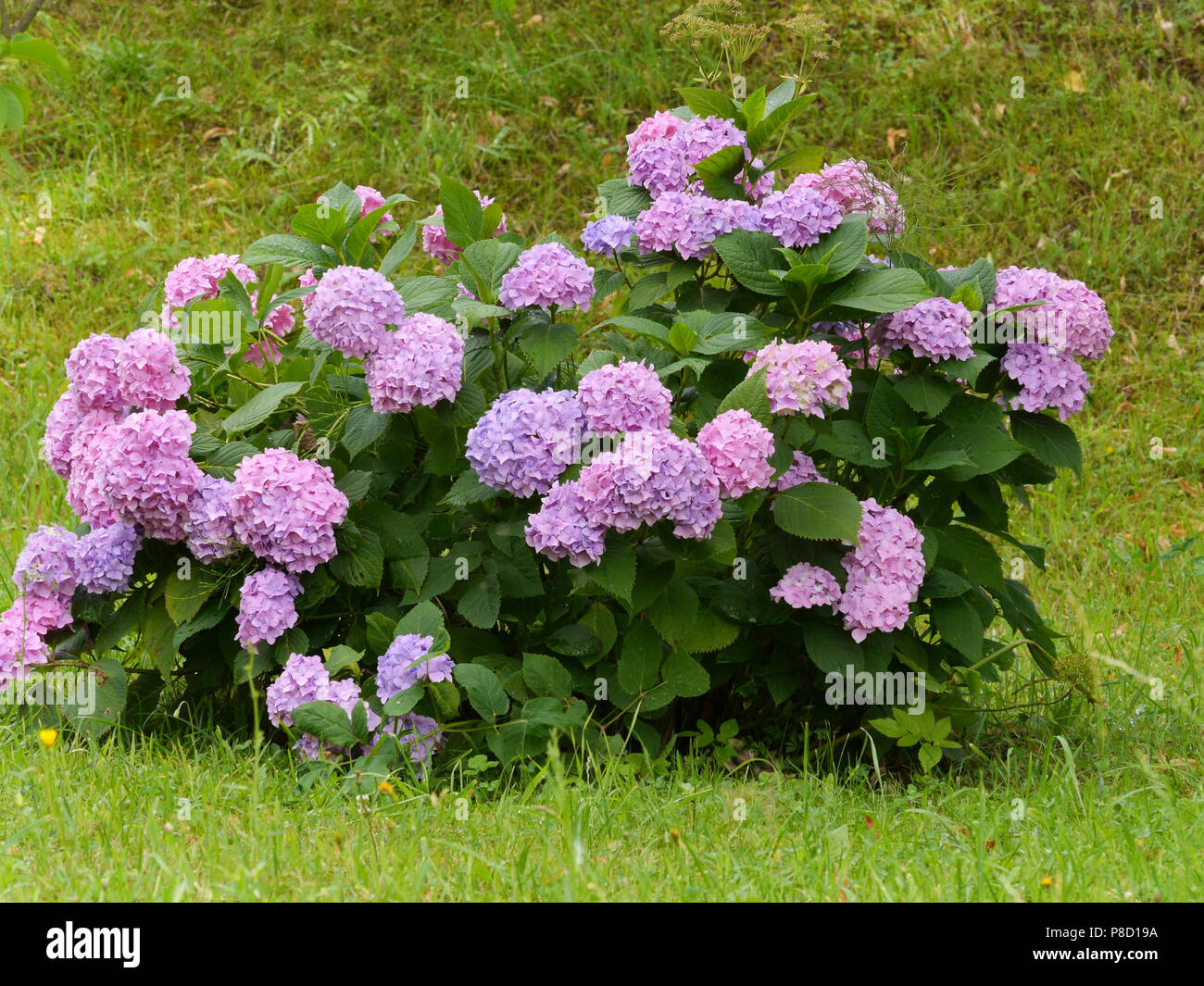 Inflorescences of pink and purple flowers on the bush of hydrangea inflorescences of pink and purple flowers on the bush of hydrangea in the middle of the lawn for your design mightylinksfo