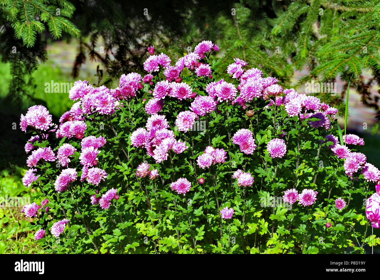 Green large bush with lots of flower pink asters on it flowers are green large bush with lots of flower pink asters on it flowers are like stars hence the name from latin for your design mightylinksfo