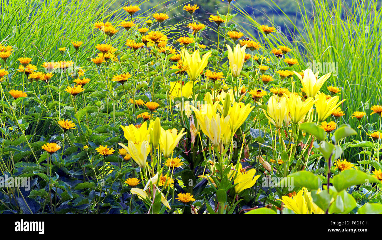 Large lush yellow lilies on a background of flower beds with small large lush yellow lilies on a background of flower beds with small orange flowers for your design izmirmasajfo