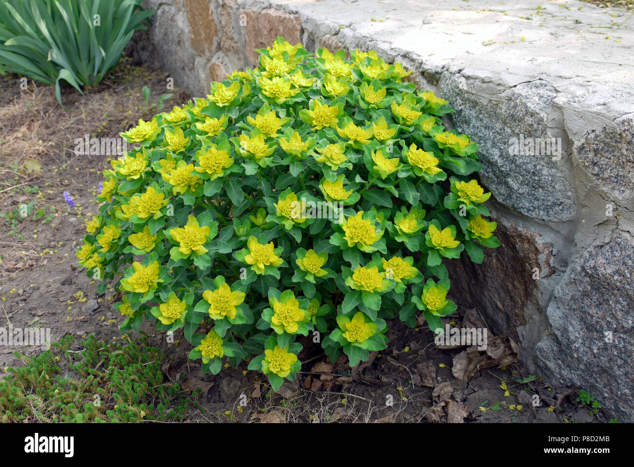 Lush Flower Bed With Yellow Flowers And Large Green Leaves On The