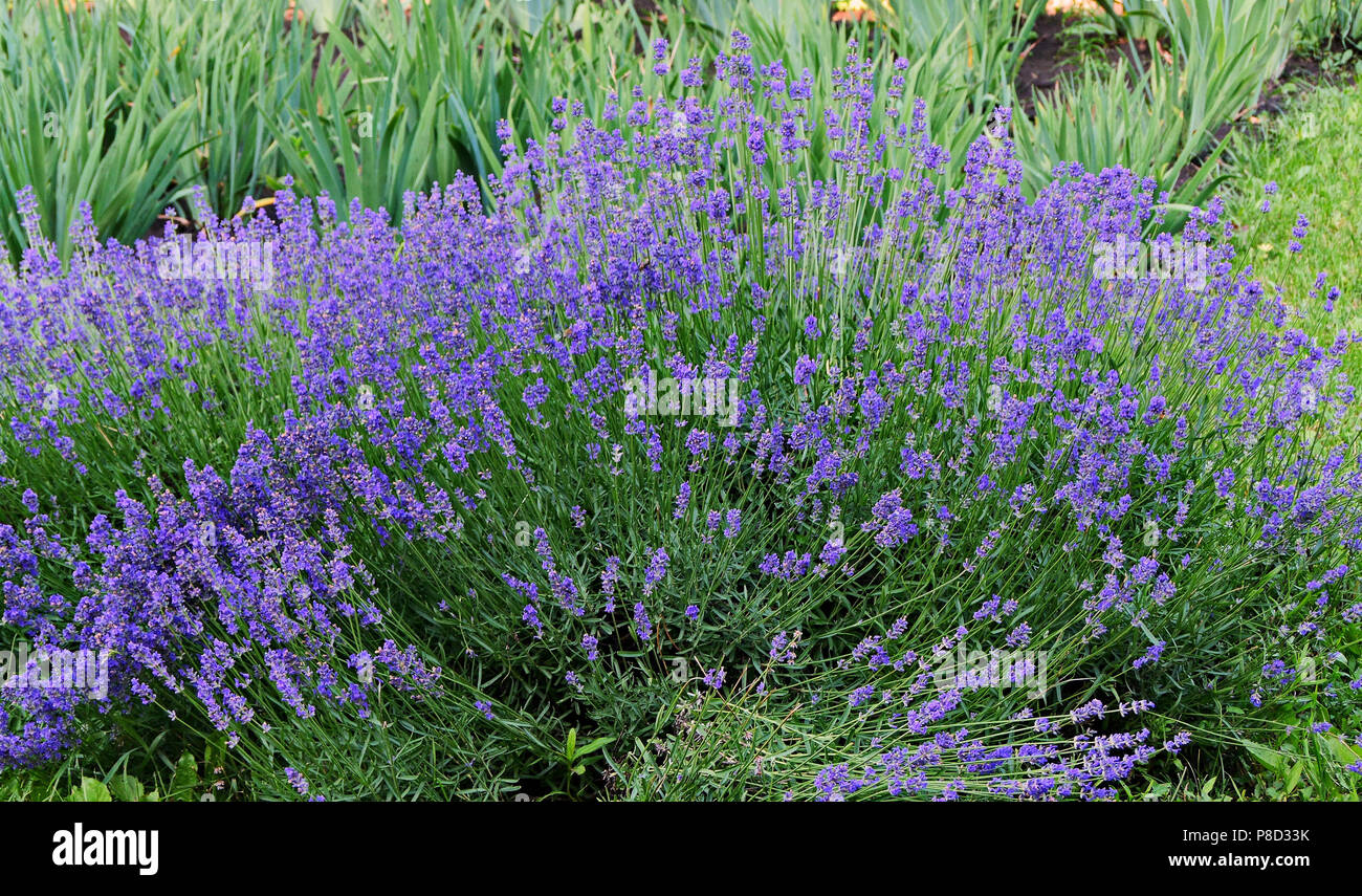 The Lush Blue Lavender Bush With Small Soft Flowers On A High Leg