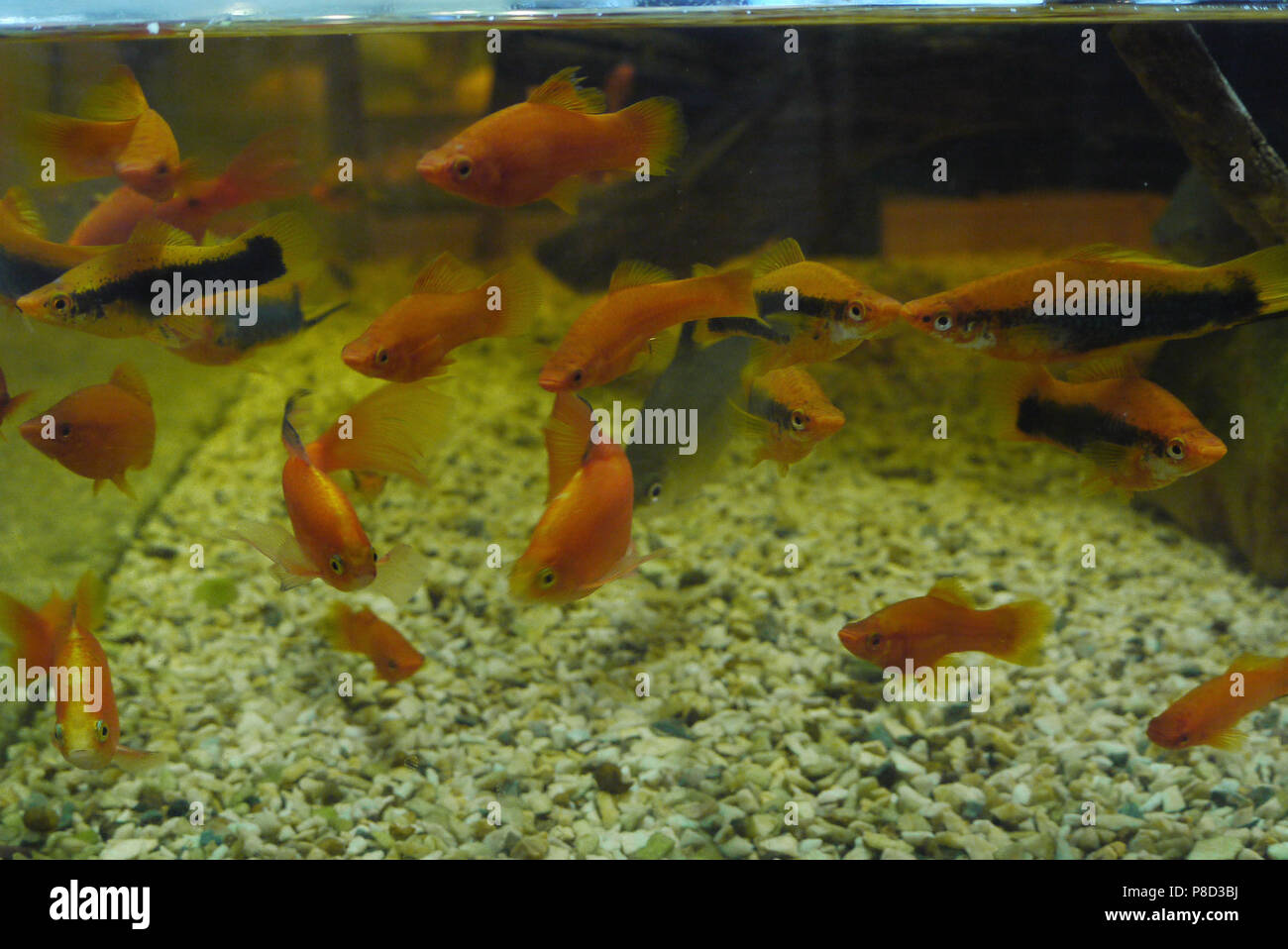 A Flock Of Colorful Beautiful Fish Of Orange Color And With Black