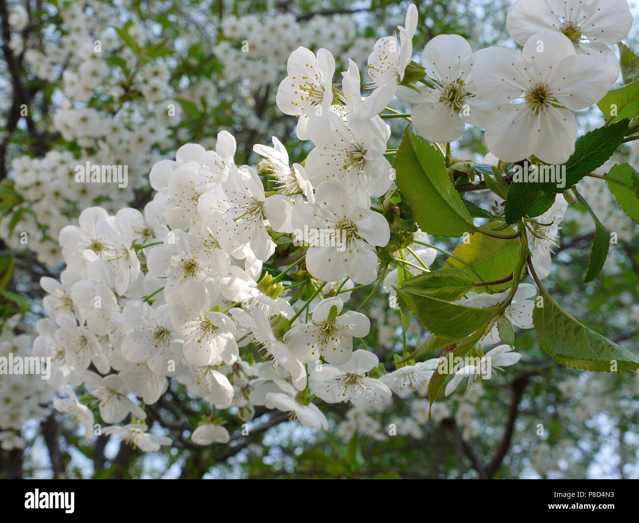 Flowers Of A Pear Tree Stock Photos Flowers Of A Pear Tree Stock