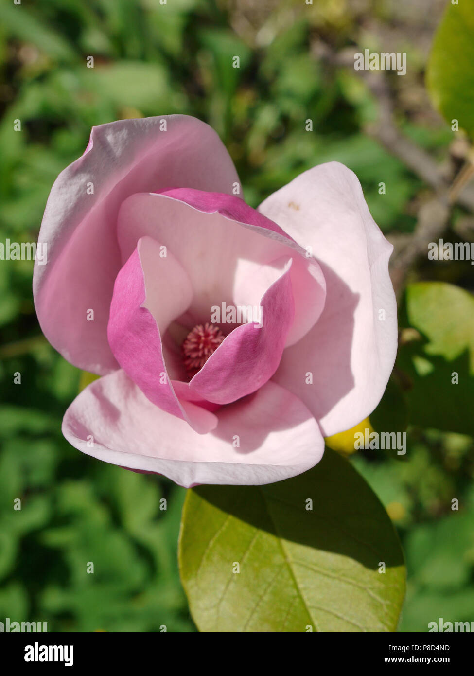 A Beautiful Big Flower With Lush Huge Pink Petals And Smooth Green