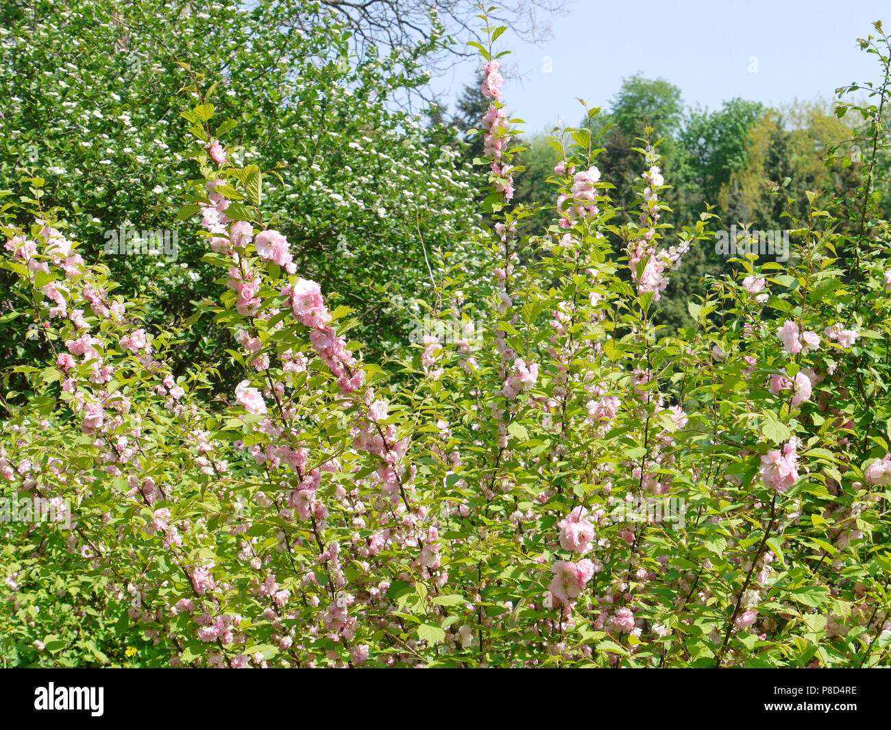 Long Thin Branches Of A Bush With Bright Pink Flowers Growing On It