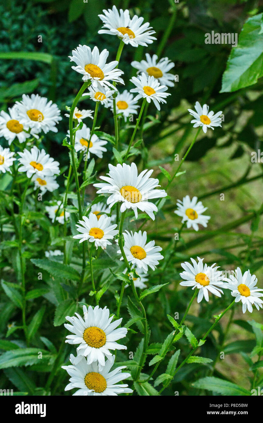 Beautiful summer flowers of the chamomile. Very useful plant. From it you get a medicinal and delicious tea . For your design Stock Photo