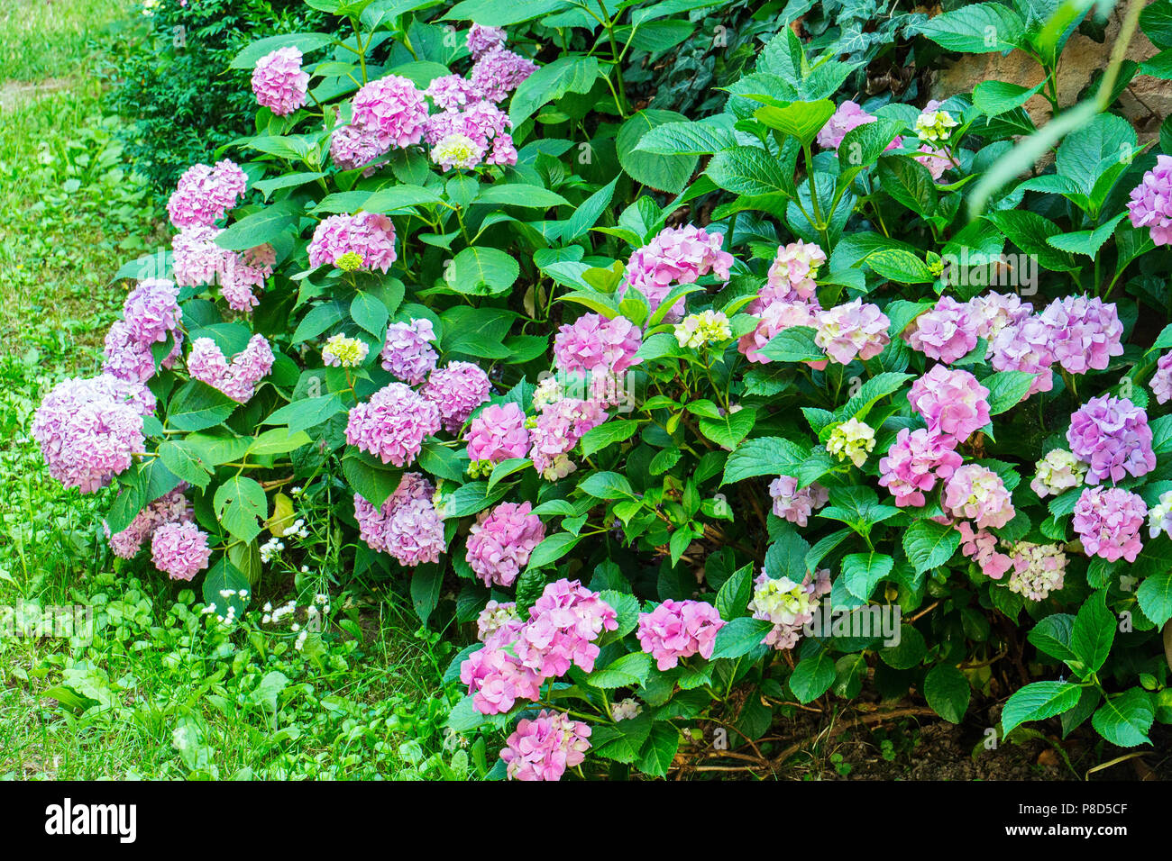 Beautiful Bush With Small Flowers Of Pink Color And Green Large
