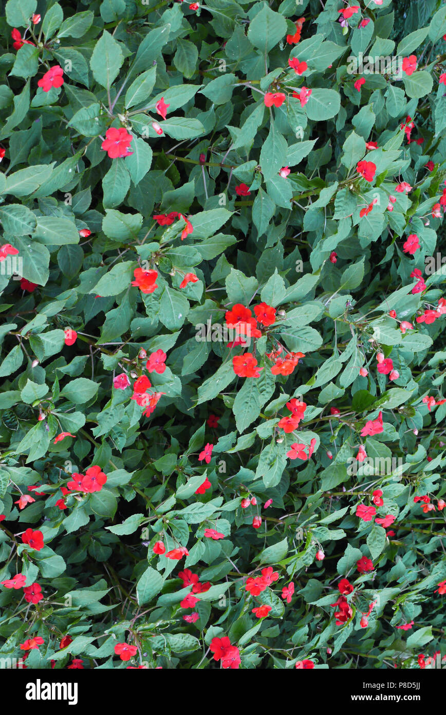 Carpet Of Green Leaves With Rare Flowers With Red Petals A