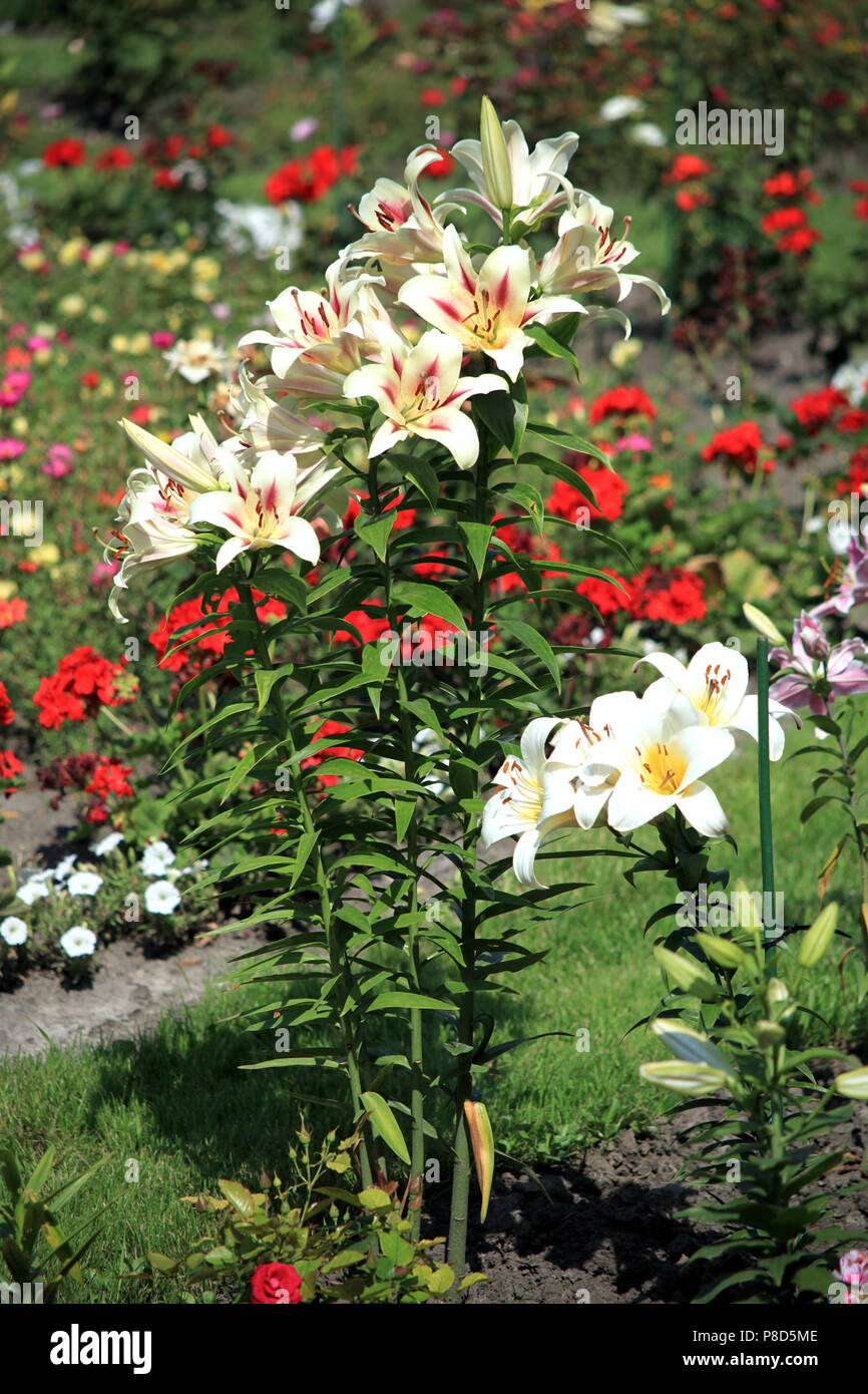 White lilies with green leaves and thin stems growing in the garden on the background of other equally beautiful flowers. . For your design - Stock Image