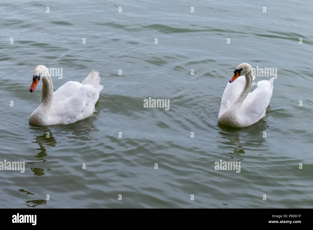 Proud white swans with orange beaks swiftly swim across the pond . For your design - Stock Image