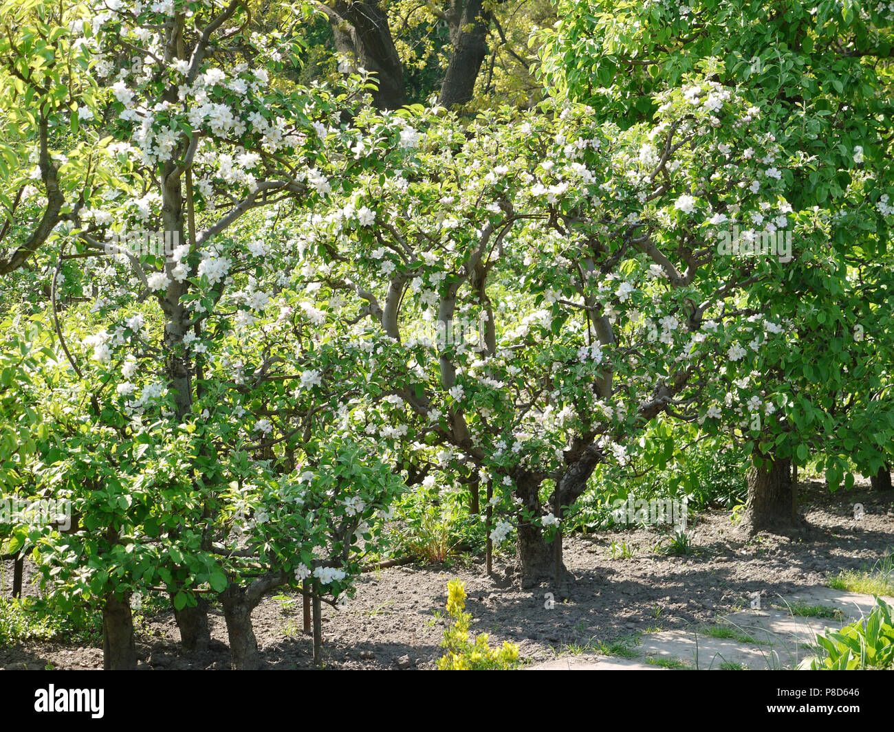 A Few Nearby Apple Trees With Beautiful Blooming White Flowers And