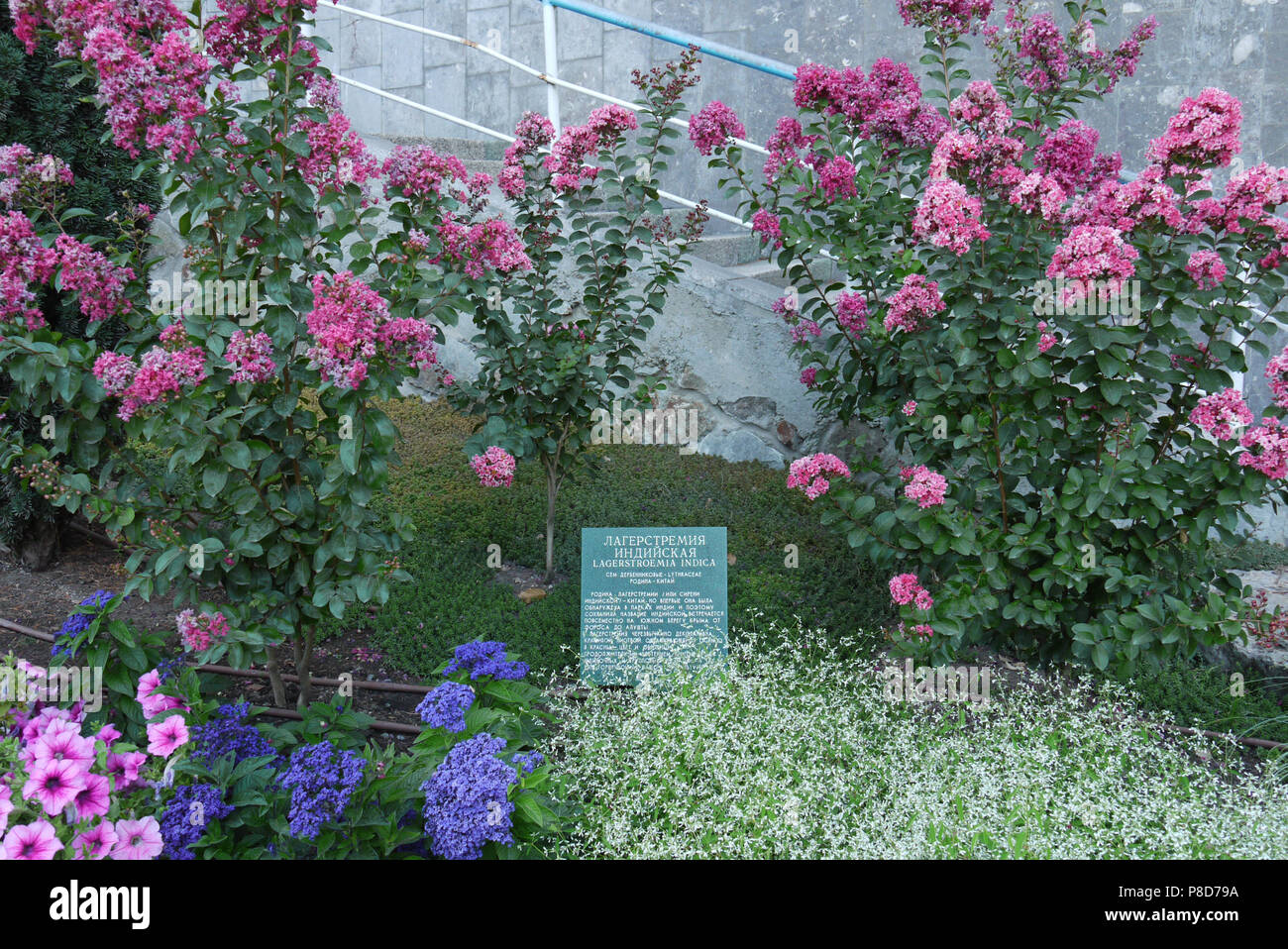 Bushes With Pink Blue And White Flowers In A Botanical Garden For