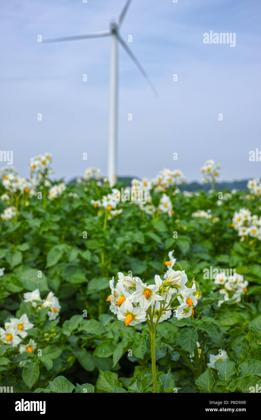 Blossoming Of Potato Fields Potatoes Plants With White Flowers