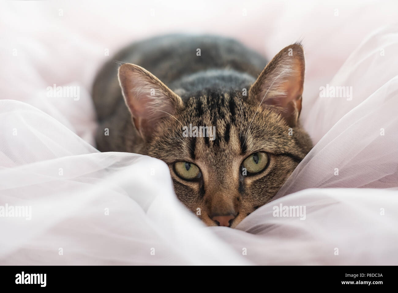 tabby cat lying on the bed and looking at camera Stock Photo