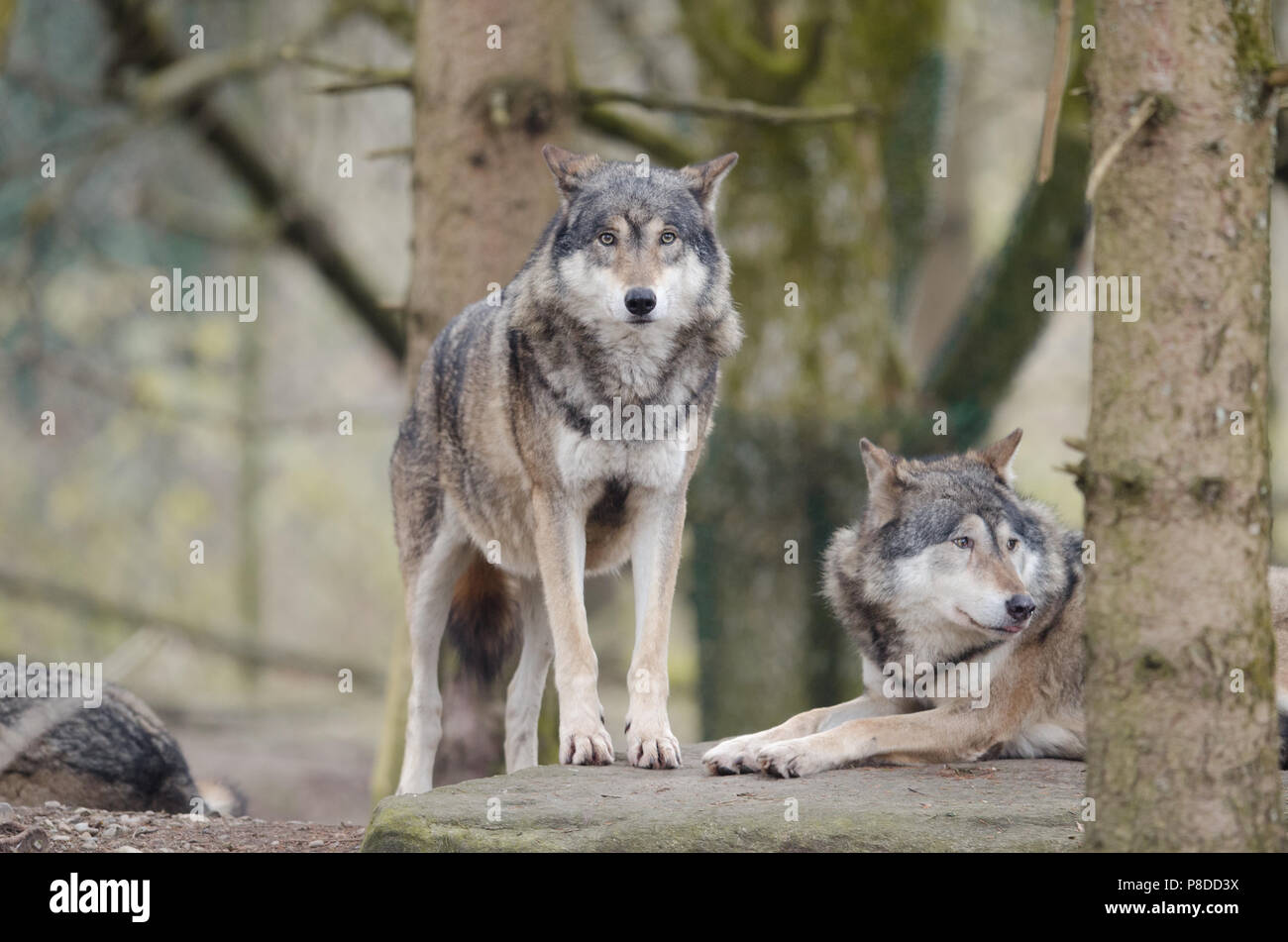 Wolf in the forest focused on prey - Stock Image
