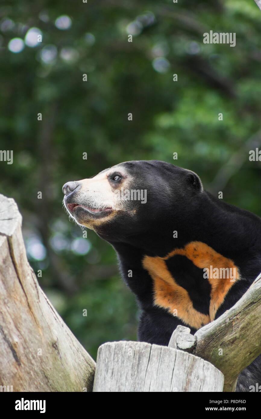 Close up portrait image of a Asian Sun Bear (Helarctos malayanus) - Stock Image
