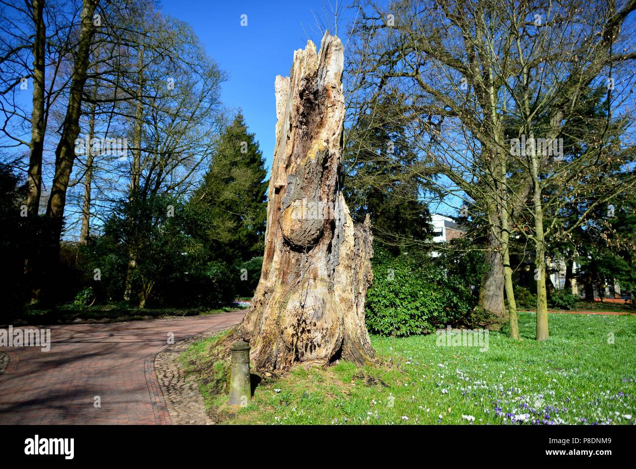 Tree stumpf of a beech at the palace garden in Oldenburg (Germany), 06 April 2018.   usage worldwide Stock Photo