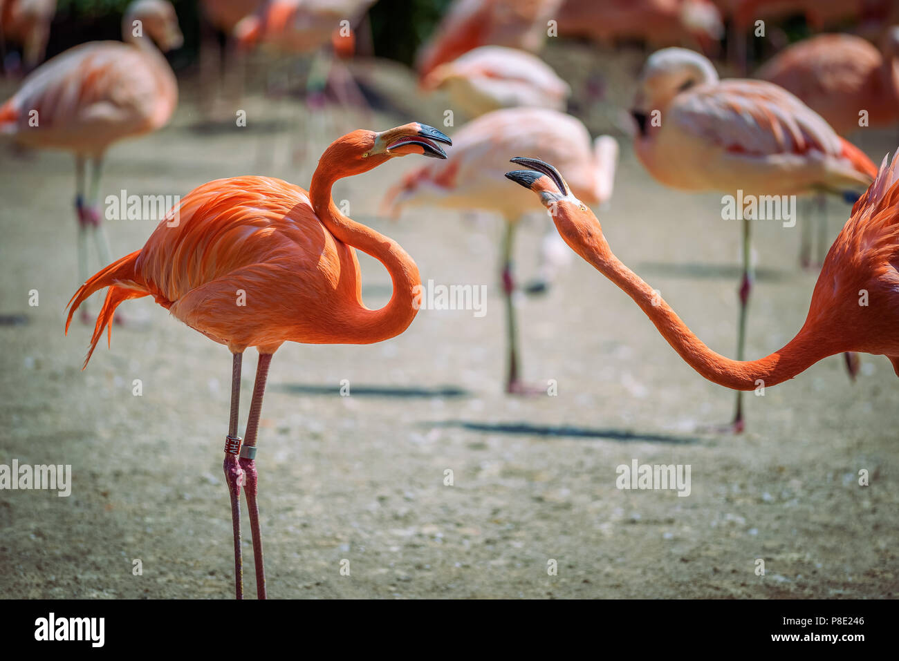 Two Caribbean Flamingos in fight Stock Photo
