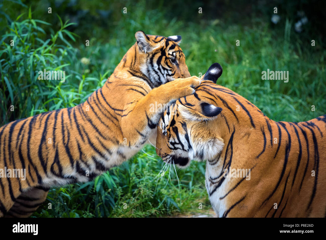 Two young malayan tigers fighting - Stock Image