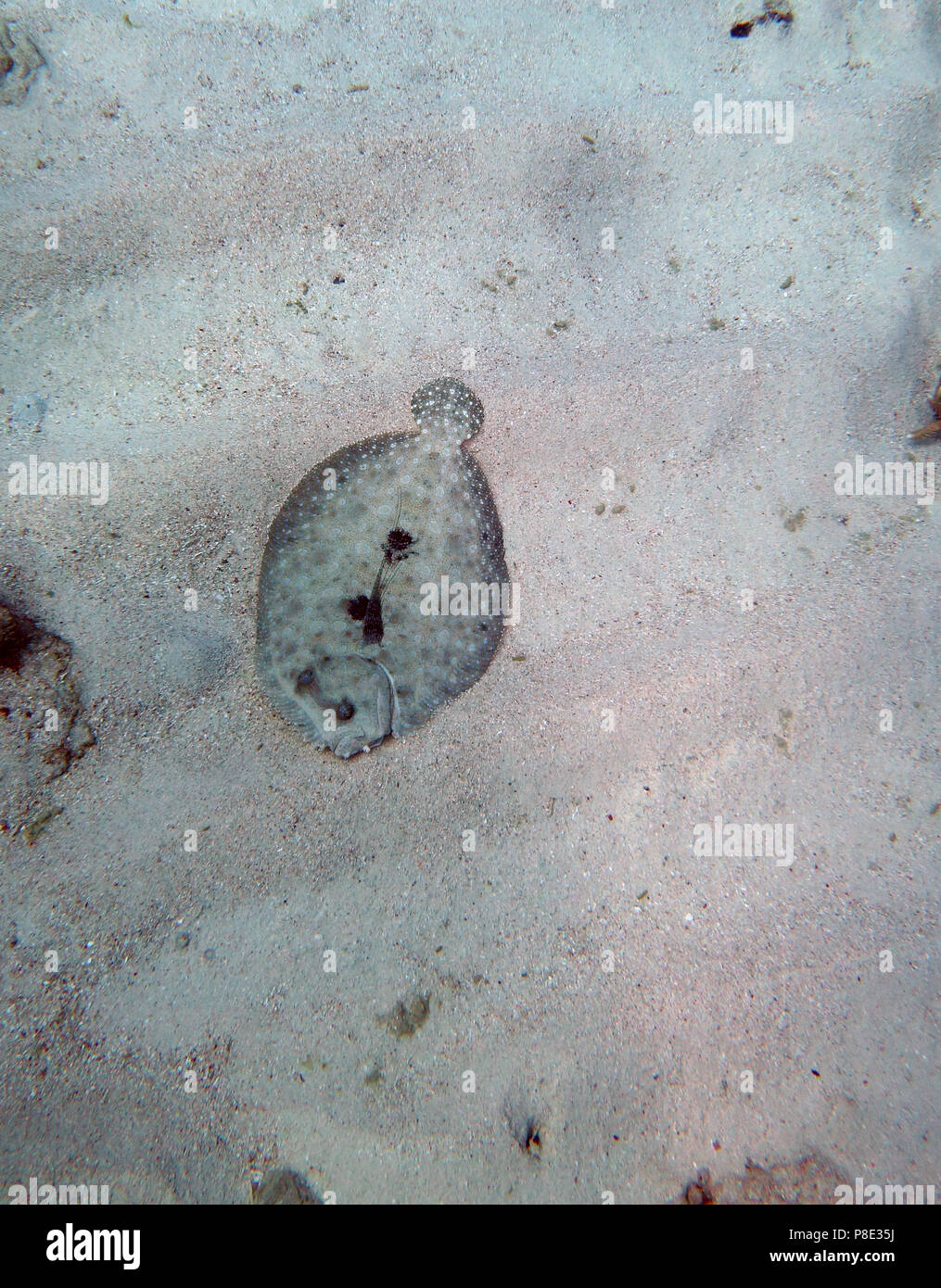 Leopard flounder (Bothus pantherinus) that is not very well camouflaged on sandy bottom, Saxon Reef, Great Barrier Reef, Queensland, Australia - Stock Image
