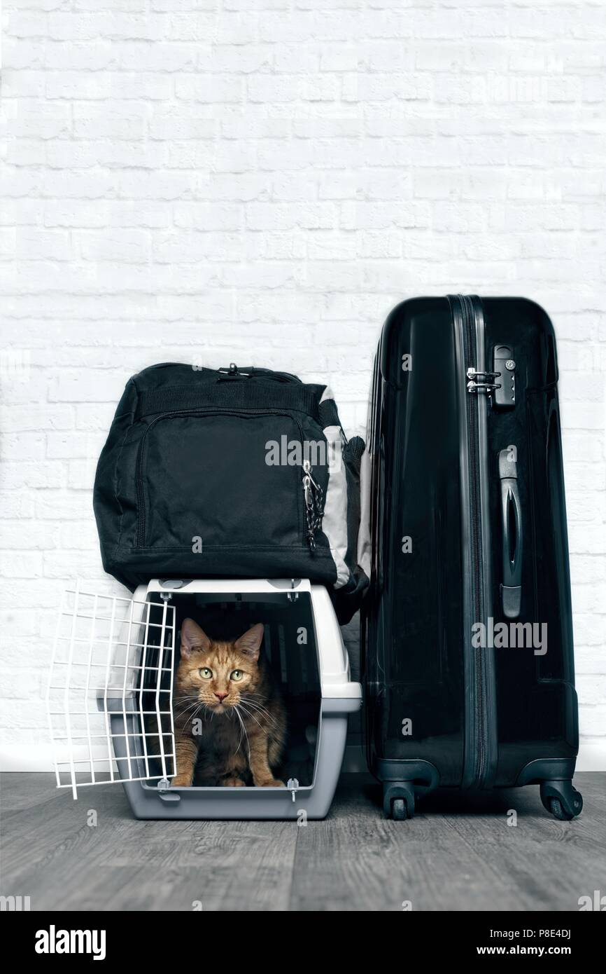 Ginger cat in A container for Transport in the middle of luggage - Stock Image