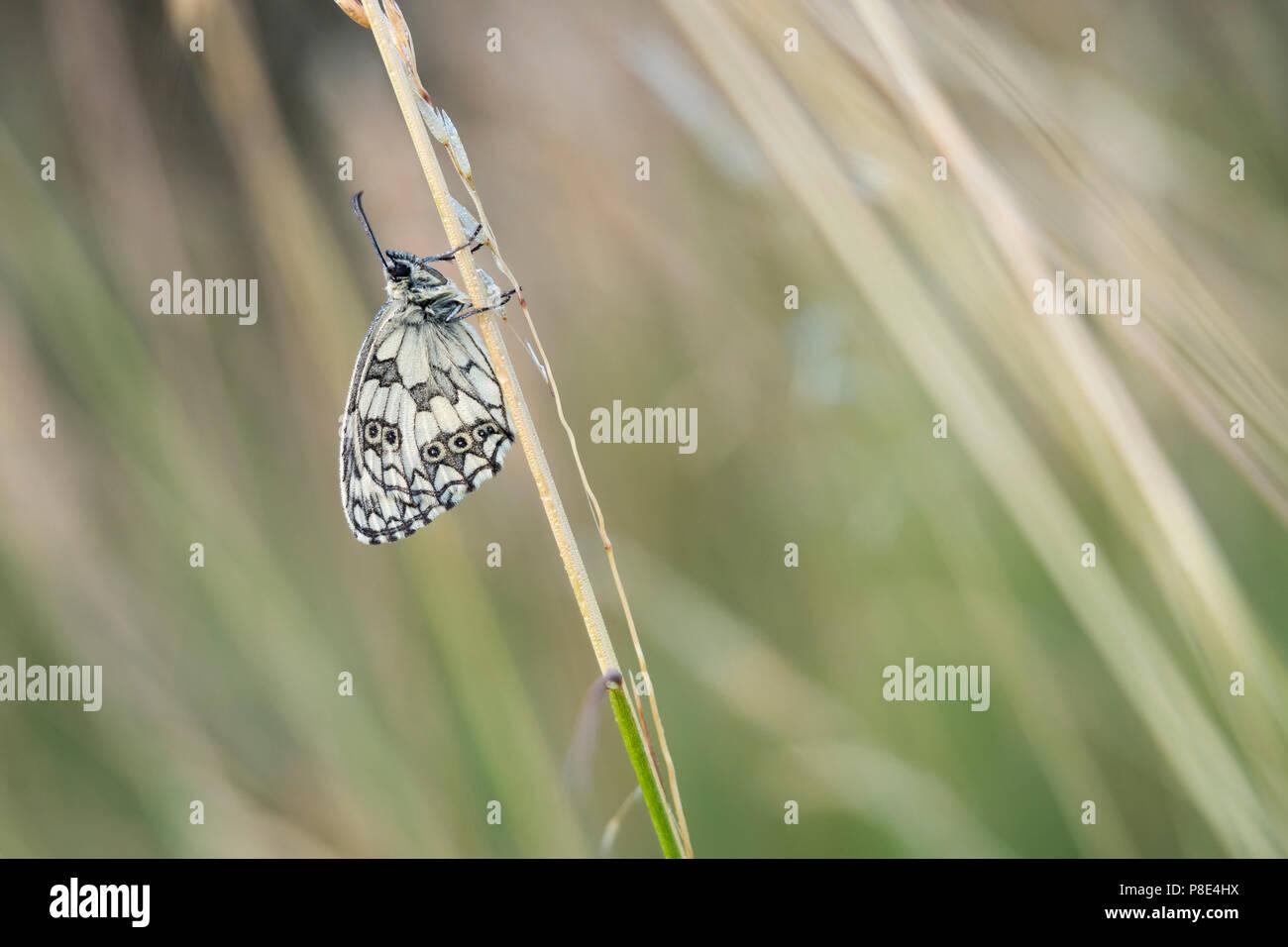 Marbled white (Melanargia galathea) on a blade of grass, Hesse, Germany - Stock Image