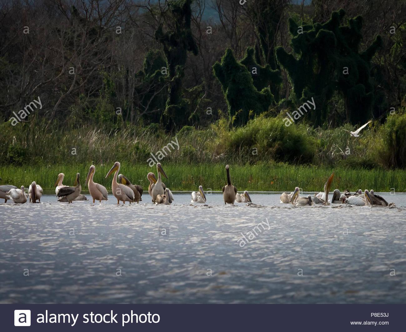 Pelicans (Pelecanidae) at Lake Chamo, Ethiopia - Stock Image