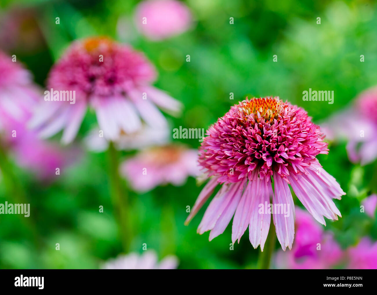 Hybrid dwarf cone flower in the summer garden. - Stock Image