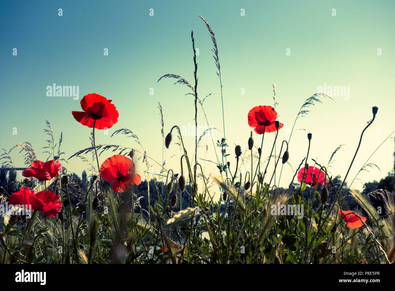 red poppies in a meadow, from below - Stock Image